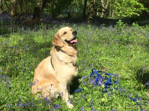 Monty posing in bluebell wood