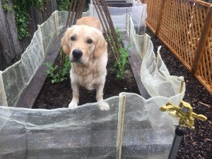 Monty in the vegetable bed!
