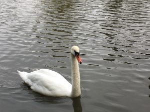 With a swan back, it feels like the pond is coming back to life again!